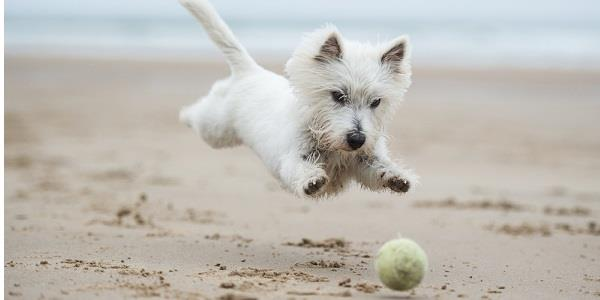 A dog chases a ball on a Cornish beach