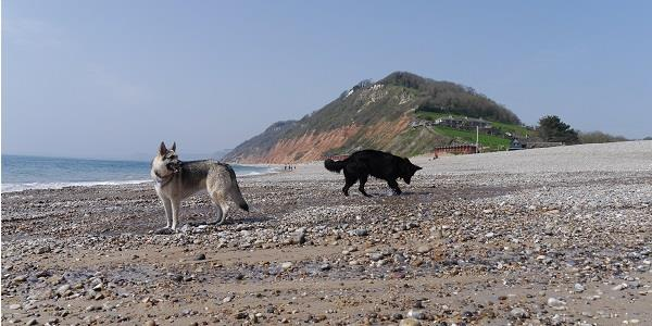 Dogs exploring the beach in Branscombe, Devon