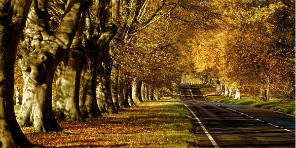 Beech Avenue is a beautiful place to walk during the autumn
